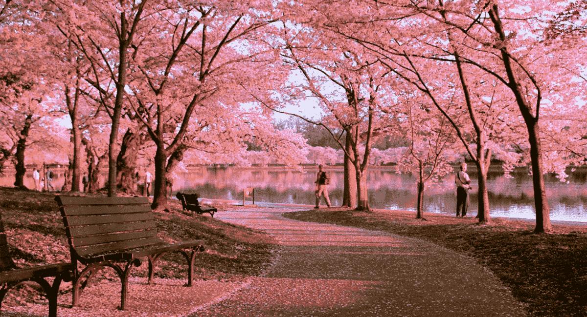 hoa anh dao Kyoto Retreat - BIỆT THỰ KYOTO RETREAT BẢO LỘC